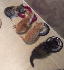 kittens eating dinner