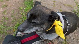 Mabel having a rest on her walk April 2017