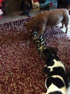 Gizmo & Bonnie enjoying christmas presents